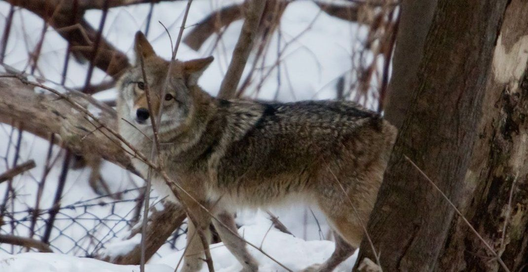 City reminds residents that Coyote sightings are normal this time of year