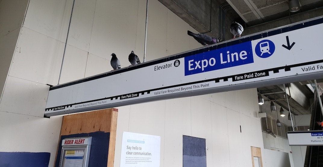 Skytrain commercial broadway station pigeon