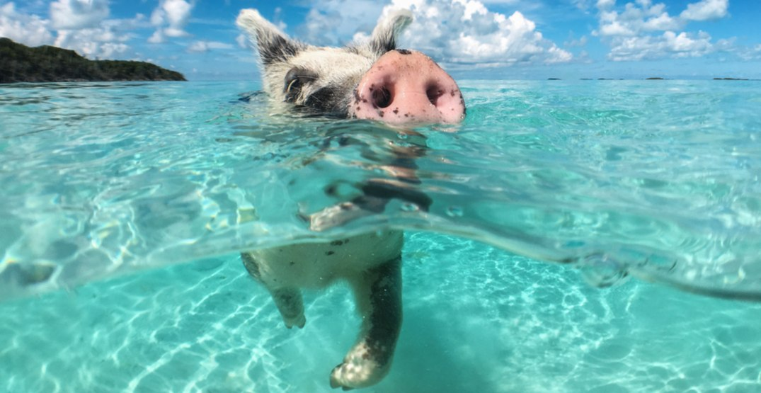 Pig swimming in the bahamas. shutterstock
