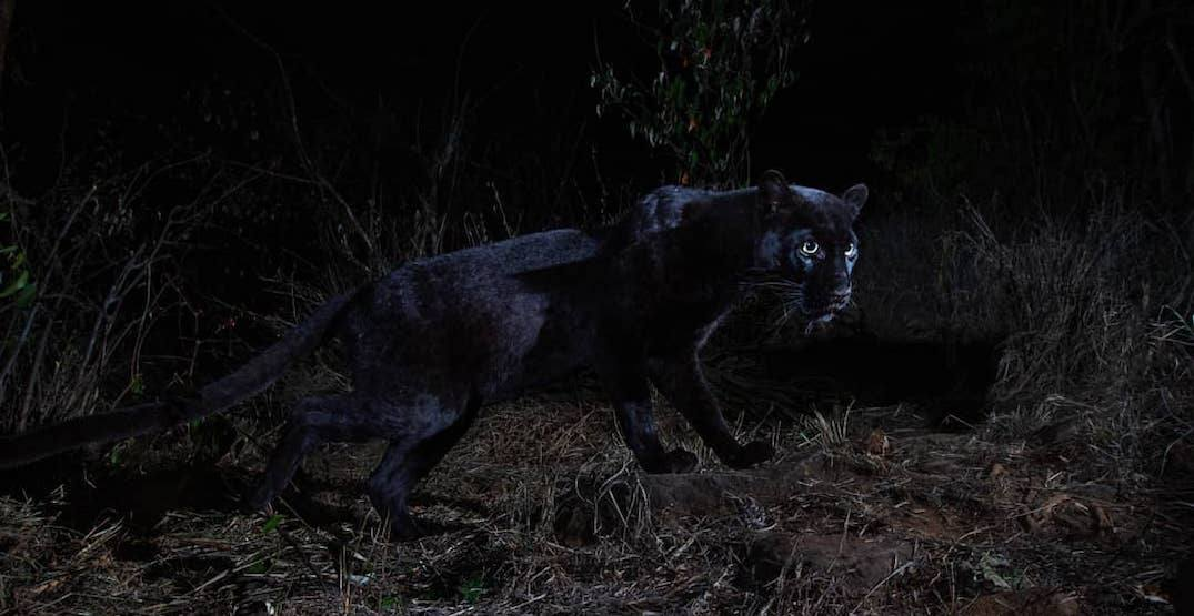 First documented African black leopard in 100 years captured in breathtaking photos