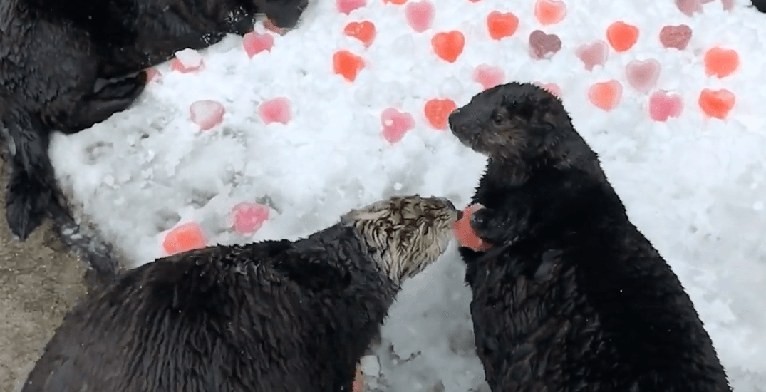 Sea otters get sweet treats for Valentine's Day (VIDEO)