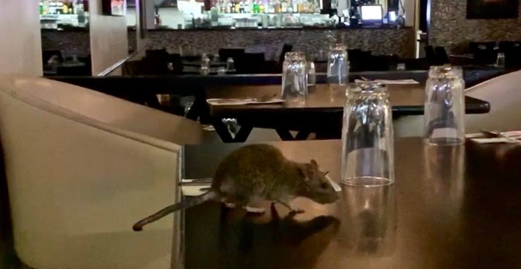 Rat spotted on table at long-serving downtown Vancouver eatery (VIDEO)