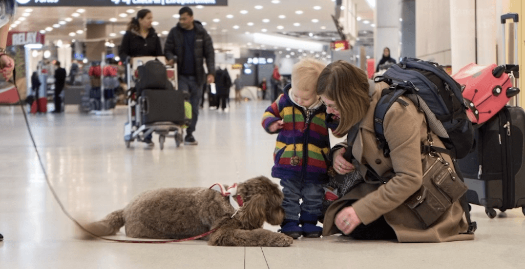 There's now a puppy therapy program at Toronto Pearson Airport