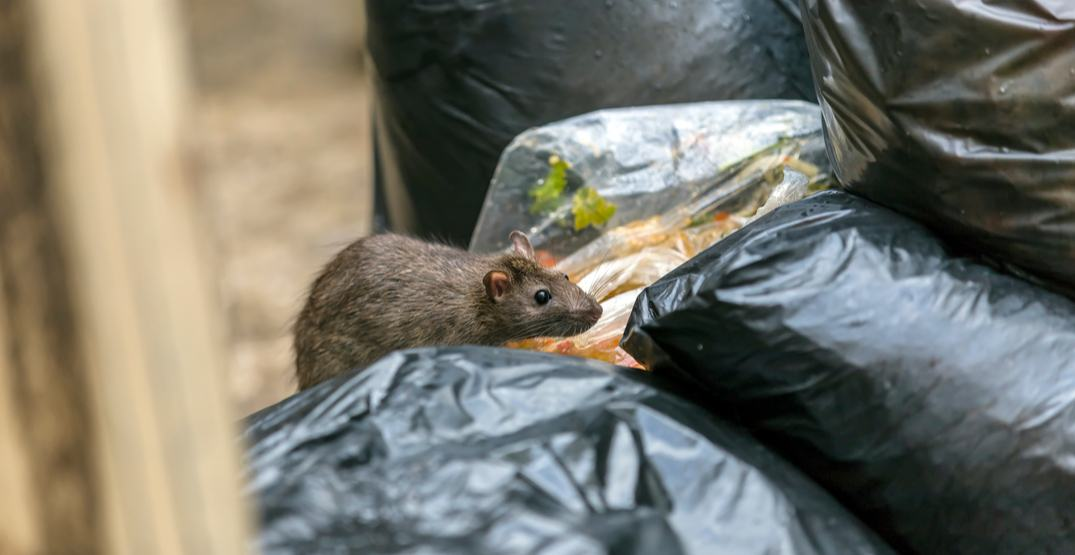 Vancouver ranked the #1 'rattiest' city in BC for the third year in a row