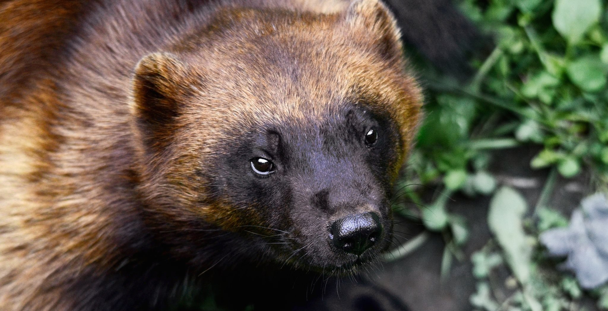 A wolverine is on the loose after escaping from a zoo in Quebec (VIDEO)