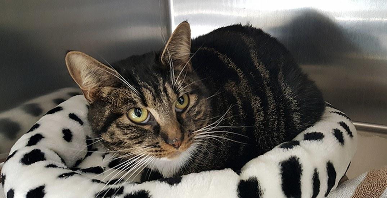 Tabby cat needs leg amputation after being shot by pellet gun