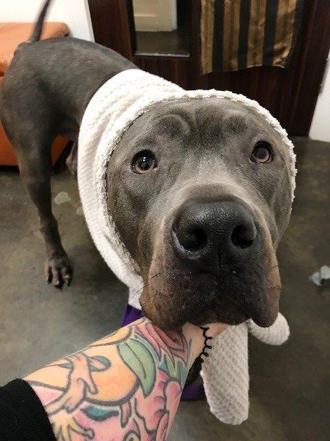 Adoptable Pet Of The Week Vita The Gentle Giant Cane Corso