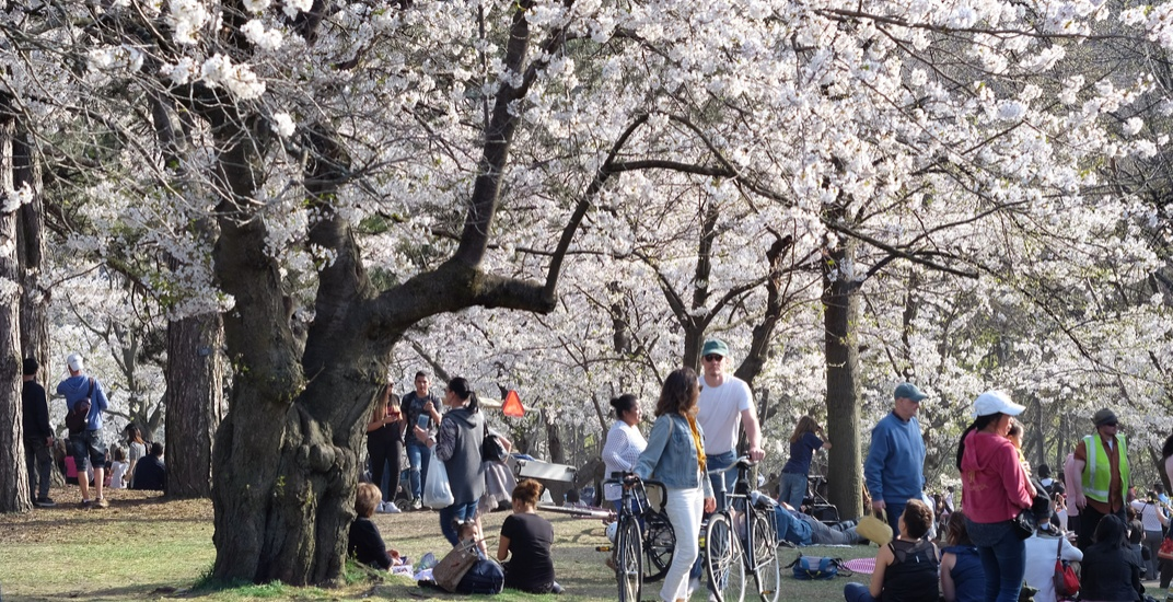 High Park's cherry blossoms could bloom as early as next month