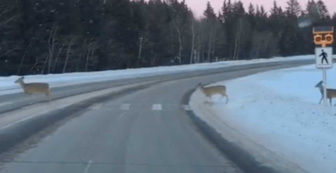 The world's most Canadian deer spotted using crosswalk (VIDEO)