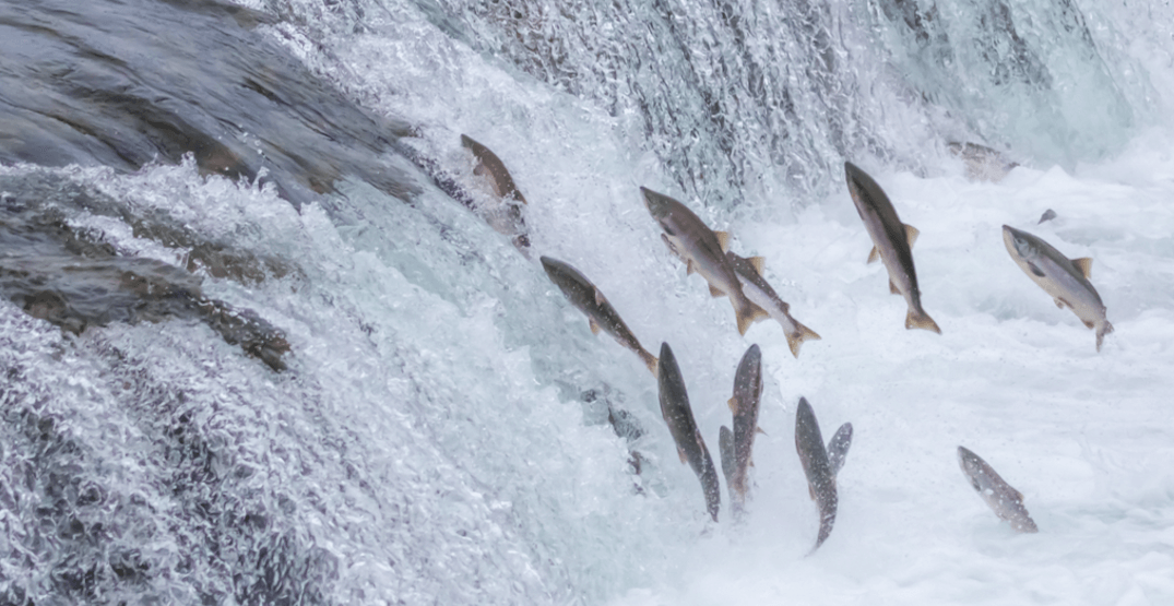 Government announces over $142 million to protect, restore wild salmon stocks in BC