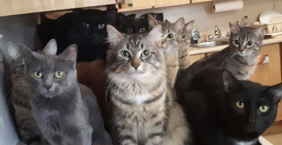 Over 100 cats rescued from hoarding situation need foster homes in Toronto right meow