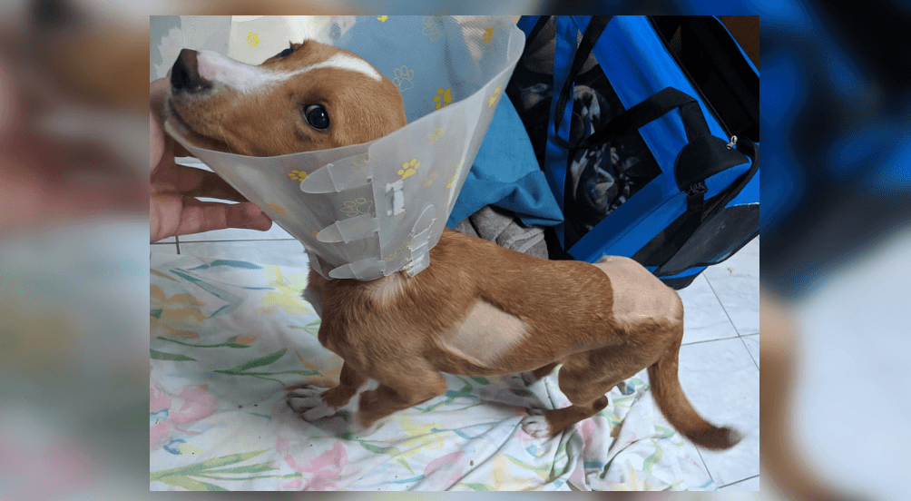 Cruelty charges possible after puppy hit twice by car and left untreated