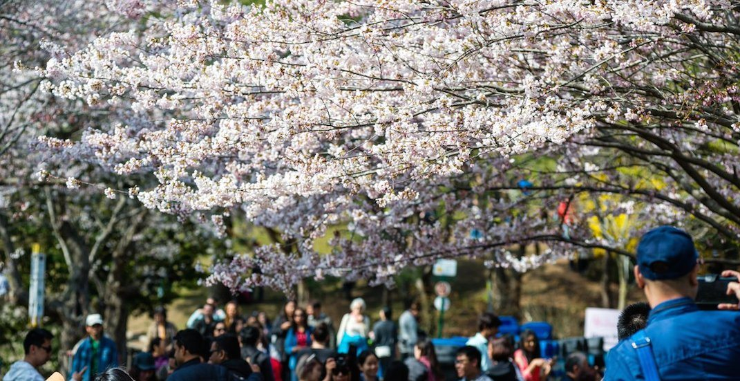 Everything you need to know about the cherry blossom trees in High Park
