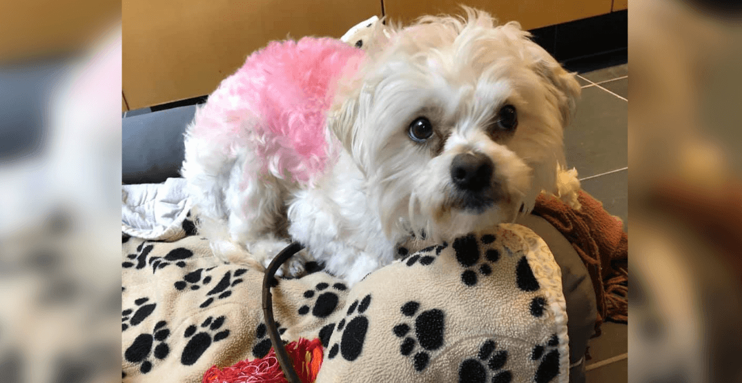 Adoptable pet of the week: Puppy spray painted pink and dumped