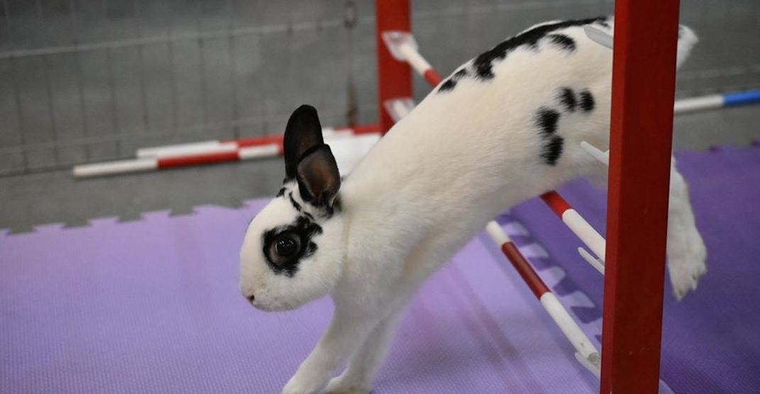 This adorable bunny agility demonstration takes place in Vancouver Easter weekend
