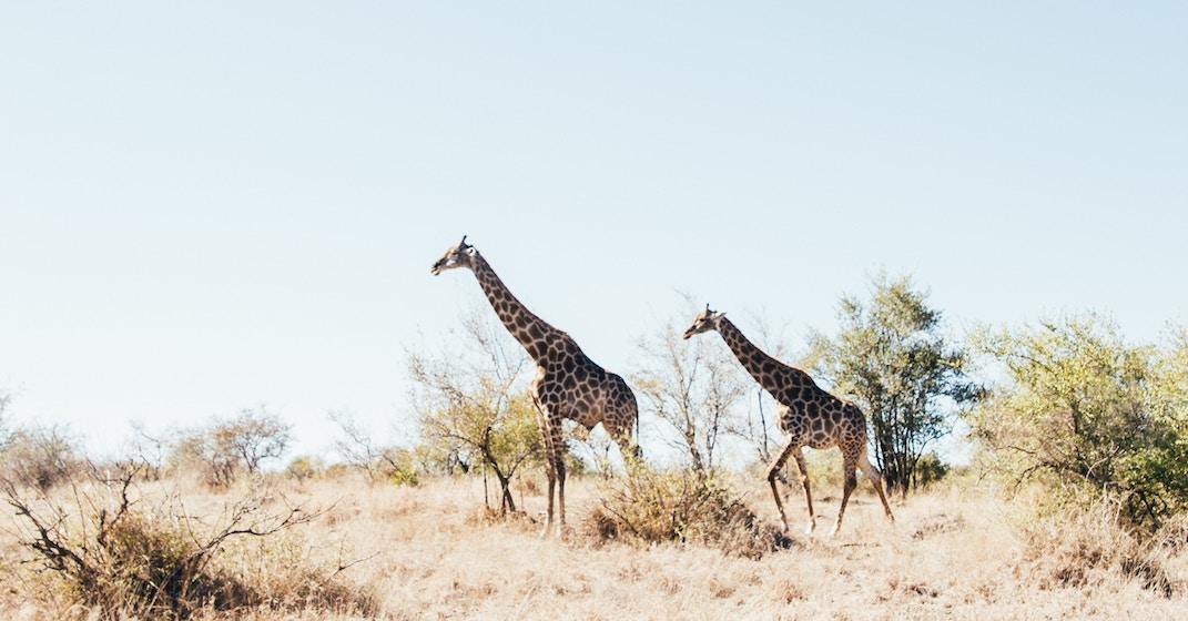 Giraffes may soon be classified as an endangered species