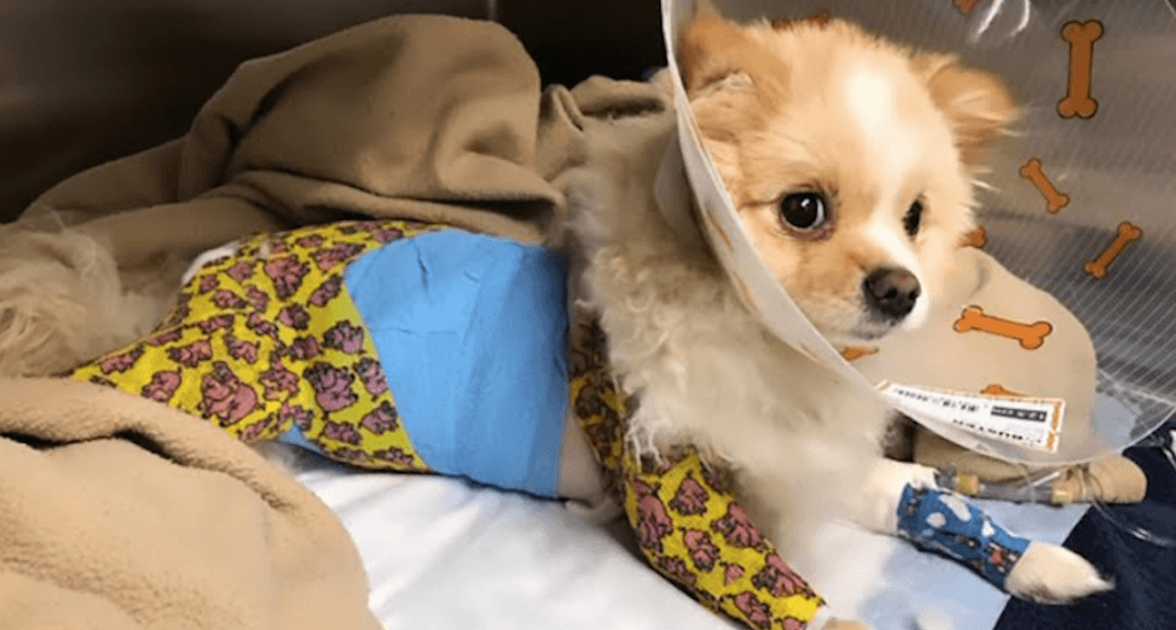 BC SPCA rescues abused Pomeranian puppy whose skin 'literally rotted off'