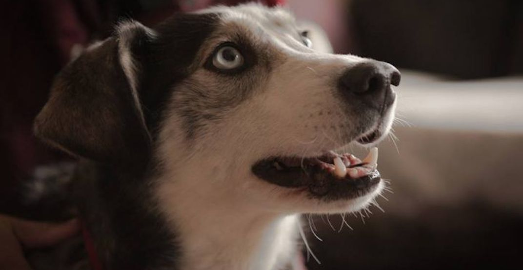 Adoptable pet of the week: meet Shyla the Husky mix