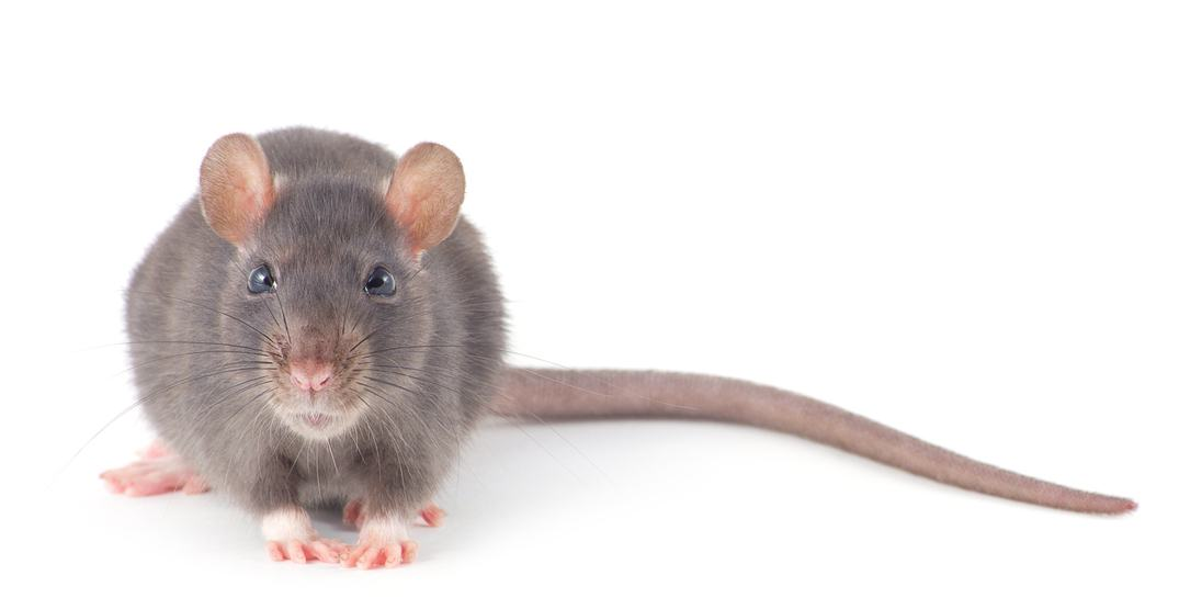 You can adopt a pet rat from the City of Vancouver