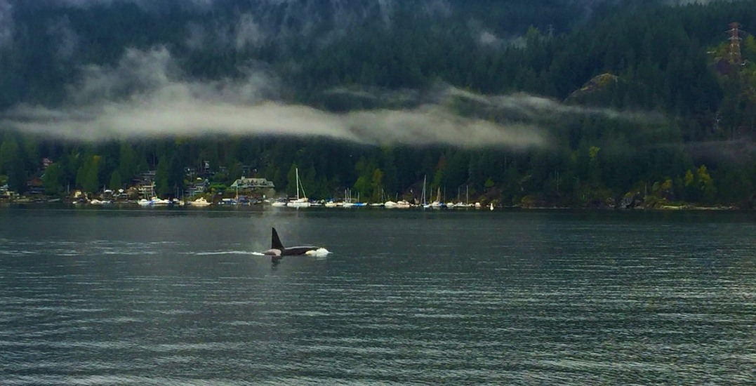 Orca whales spotted in North Vancouver waters (VIDEOS)