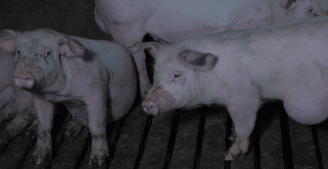 BC SPCA to probe 'horrific' footage shot at Abbotsford pig farm