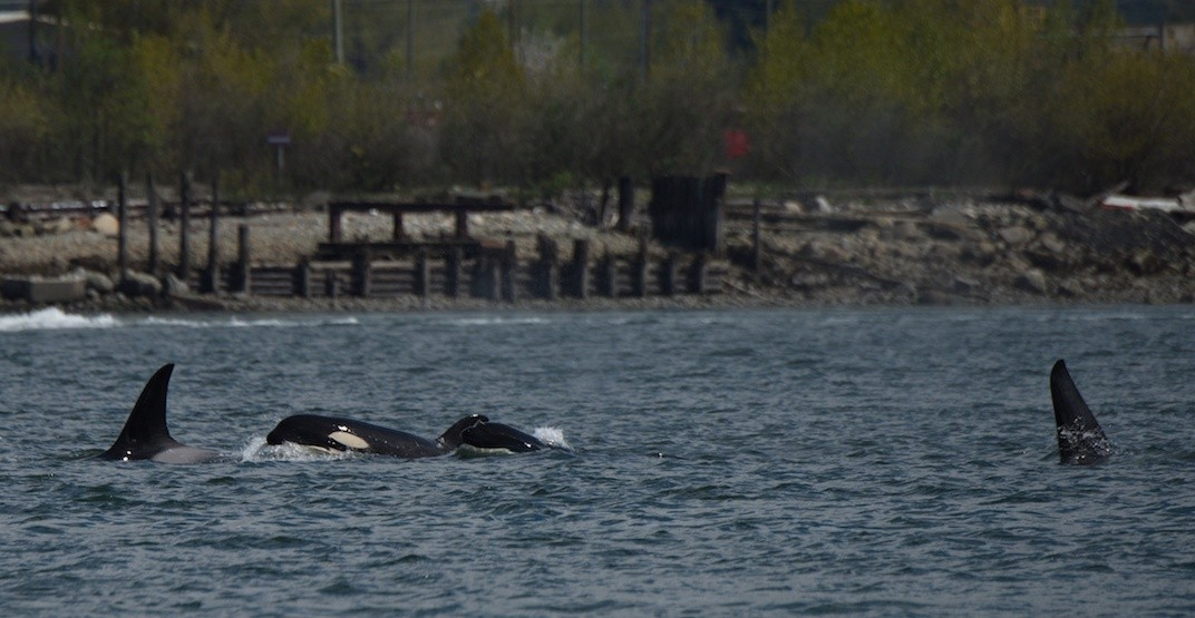 Bigg's killer whales hunt for seals in Vancouver harbour (VIDEO)
