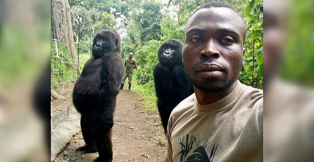 These cheeky gorillas made the best photobomb of all time