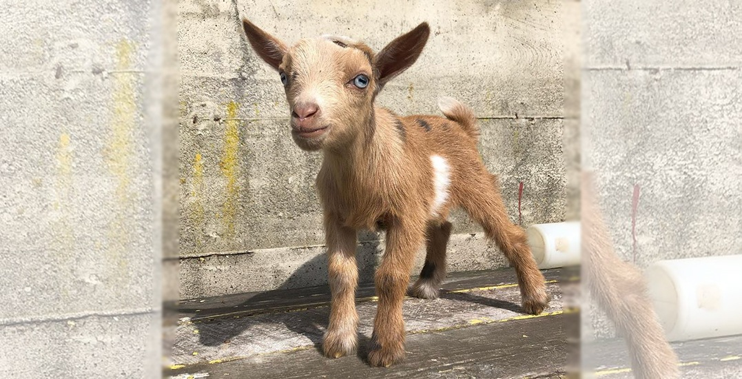 Newborn baby goat kid-napped from BC farm's 'schnuggle' event