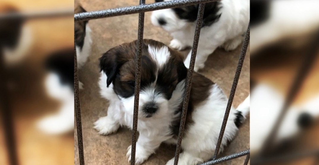 Stolen Abbotsford puppies found in Vancouver after thieves tried to sell them: police