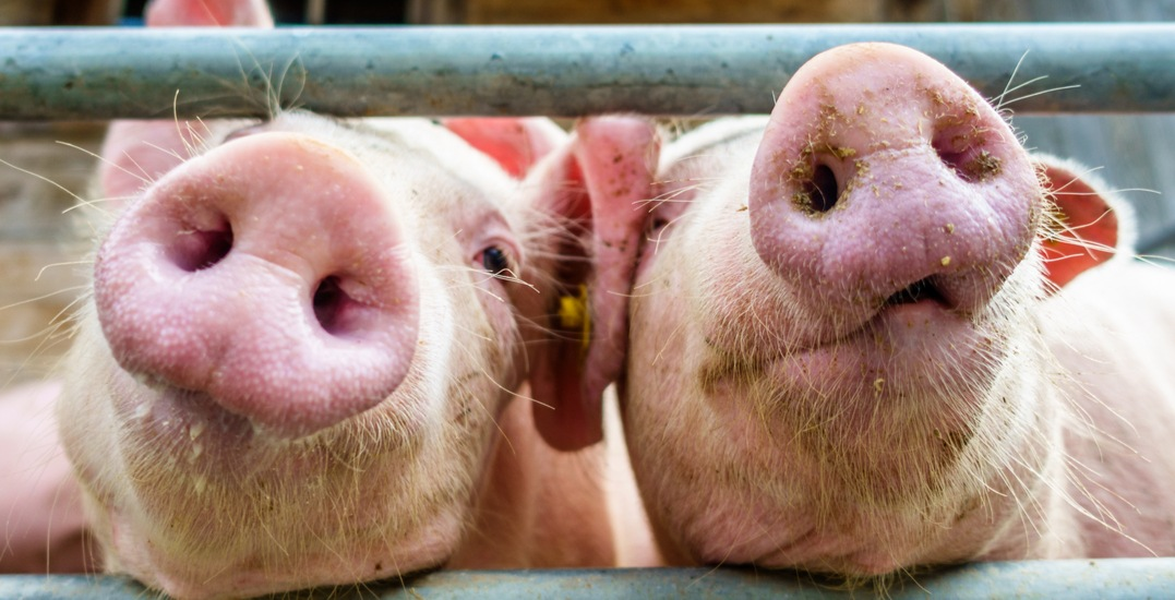 Alberta issues response to China's pork export suspension