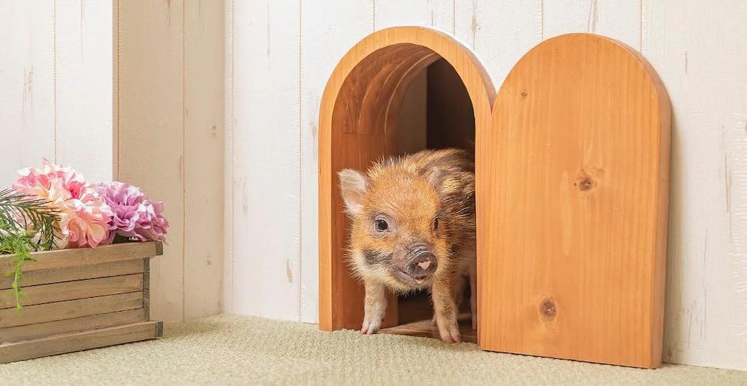 A piglet cafe just opened in Tokyo and it's adorable