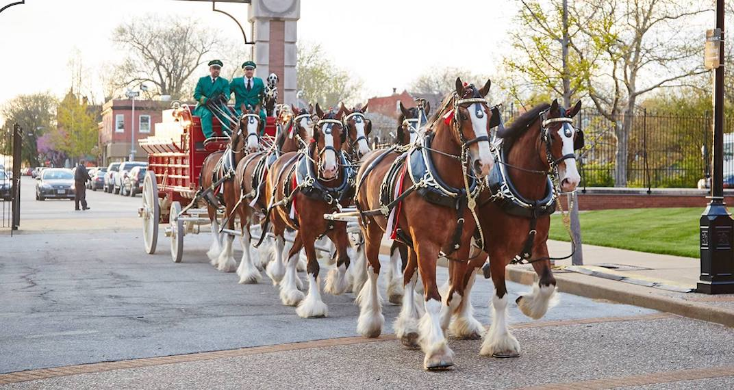 You can see Budweiser's iconic Clydesdale horses in Toronto this week