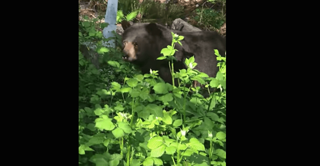Brave tiny dog gets up close to a bear in Coquitlam (VIDEO)