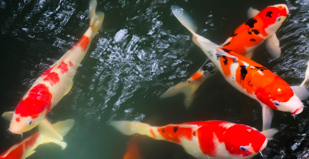 Koi are coming back to Vancouver's Dr. Sun Yat-Sen Classical Chinese Garden