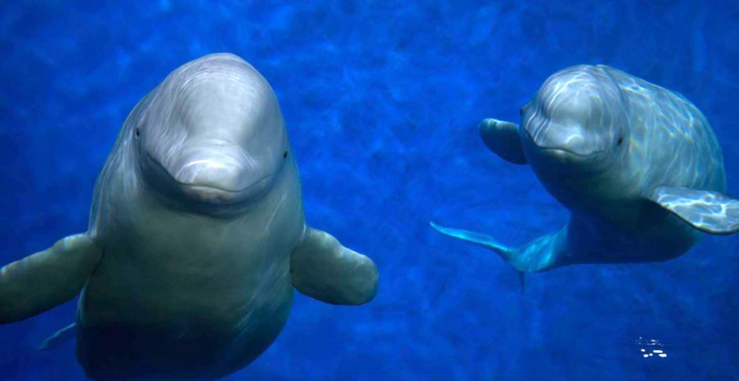 World's first open-sea beluga sanctuary to open in Iceland (PHOTOS)