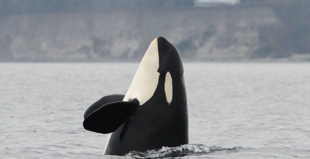 Orcas spotted in Burrard Inlet during the pandemic shutdown (VIDEO)
