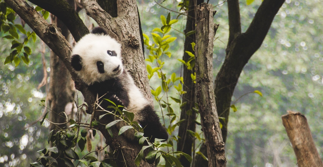 China's giant panda national park will be 3 times larger than Yellowstone
