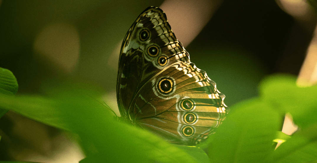 See thousands of tropical butterflies at Vancouver Aquarium this summer