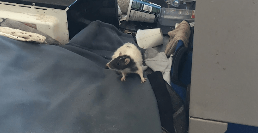 'Shocking' rat issue in DTES unit reveals deeper problems to Vancouver pest control company