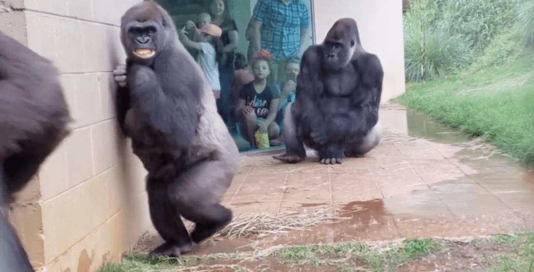 Gorillas caught in the rain. brooke hunsingerfacebook