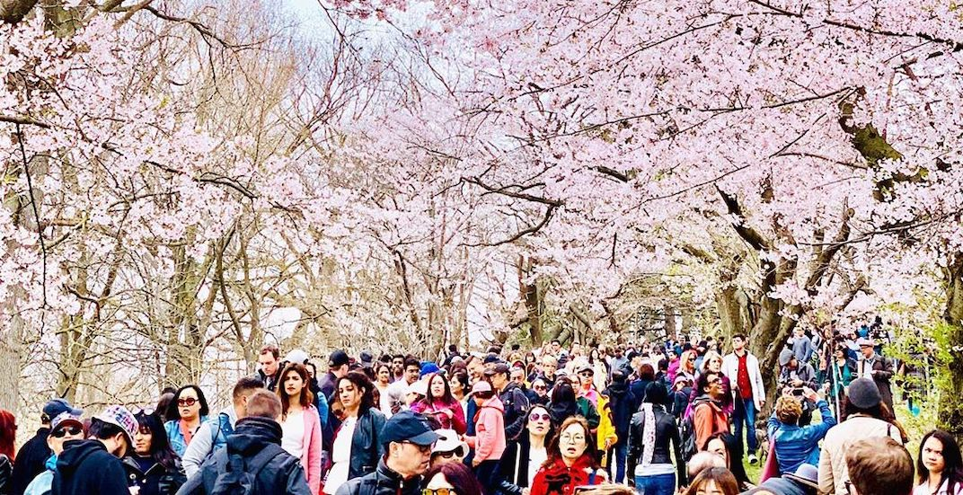 Everywhere you can find peak bloom cherry blossoms in High Park