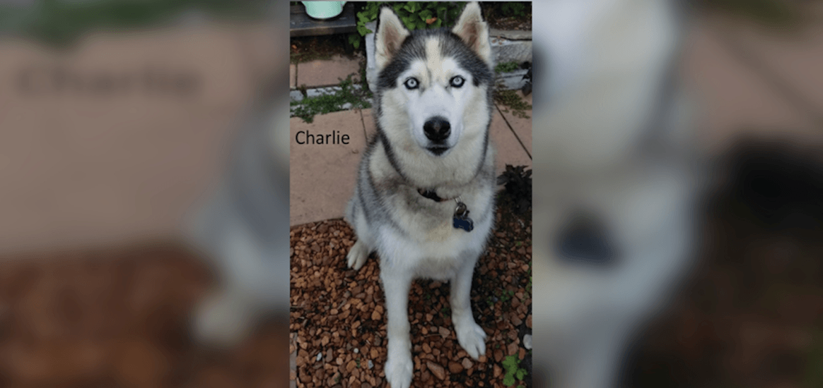 Siberian Husky untied and stolen from storefront in Toronto's east end