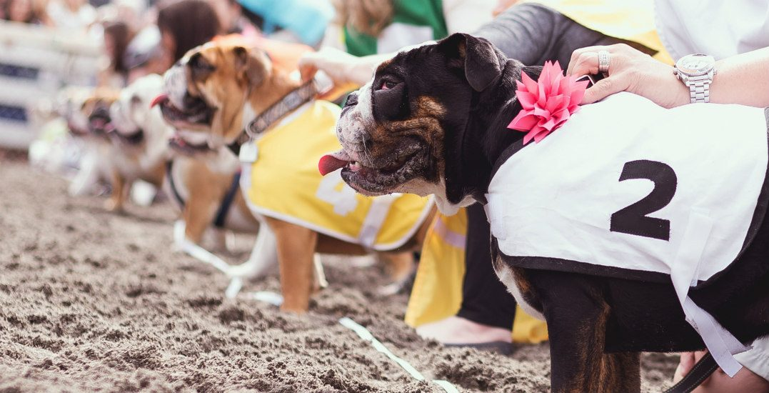 Bulldog, corgi, and wiener dog races are back at Hastings Racecourse
