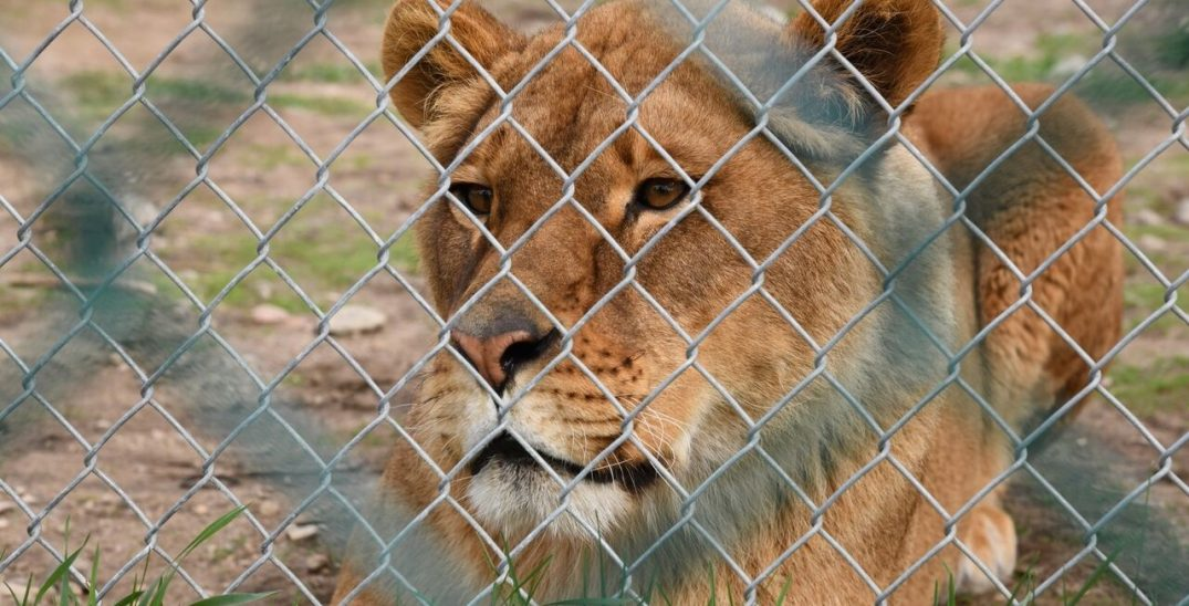 Quebec zoo spca animal seized e1558538363792