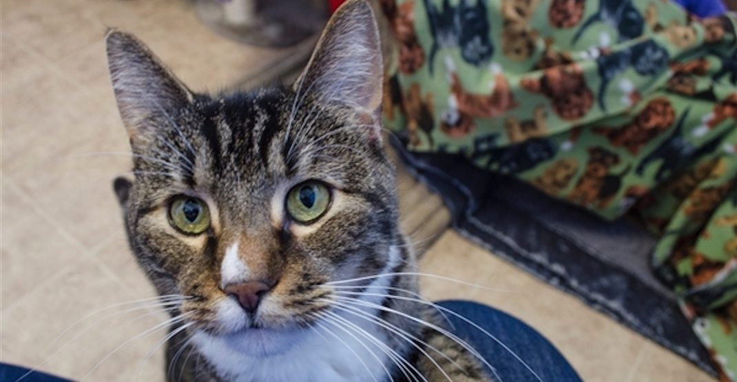 BC SPCA offering 50% off cat adoptions because shelters are 'very full'