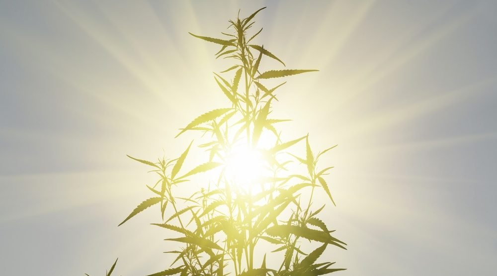 New research shows how light cycles impact cannabis flowering