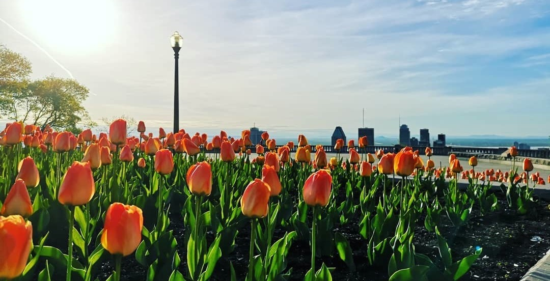See the tulips in full bloom at the top of Mont Royal (PHOTOS)