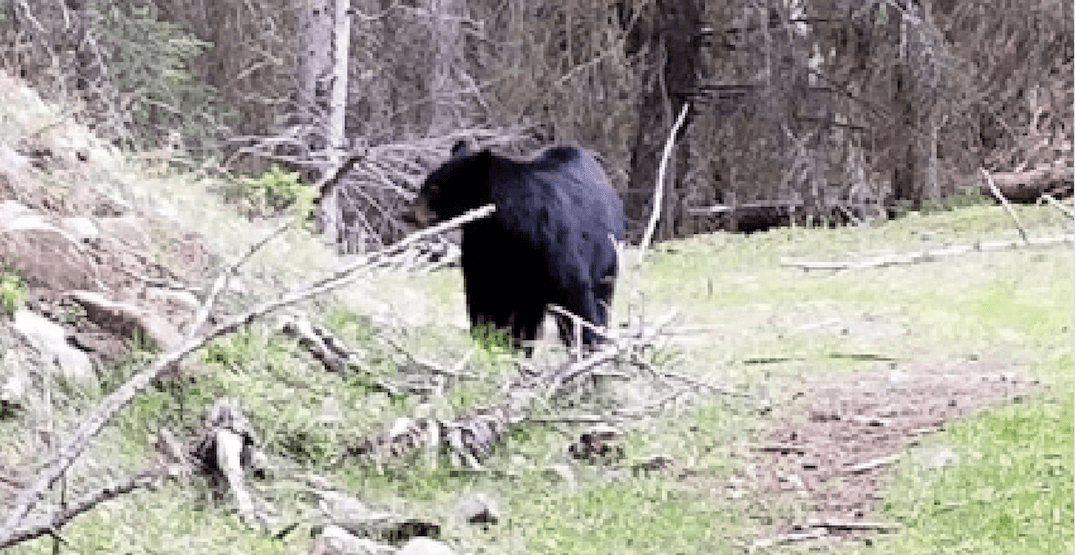 BC woman credits her dogs for saving her from 'predatory' bear attack