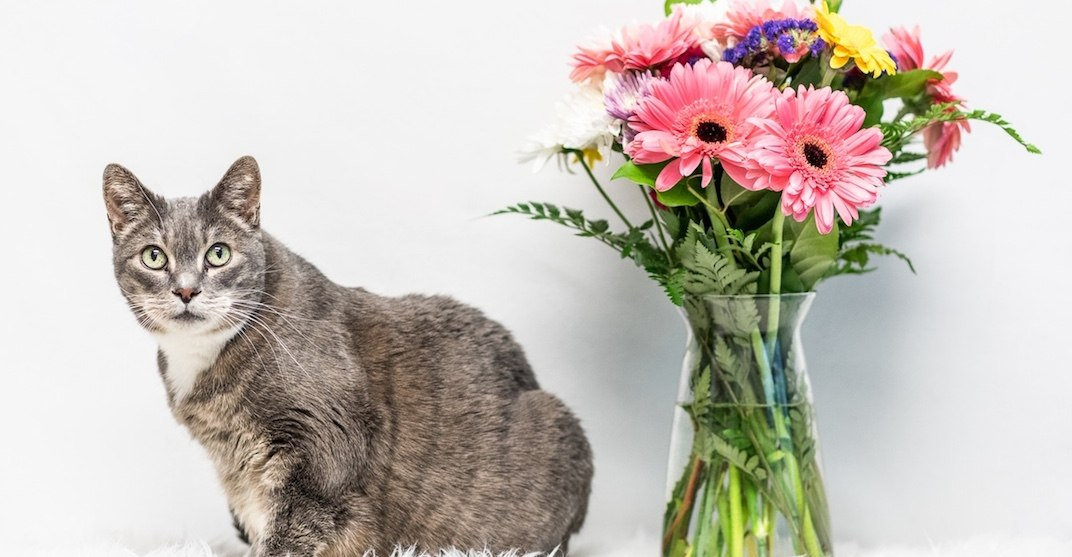 'Grey Goddess' cat has been in shelter for 612 days waiting to be adopted