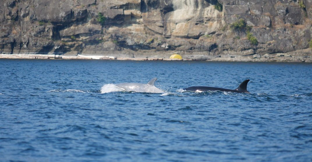 Rare white whale spotted in the waters off the BC coast (PHOTOS)